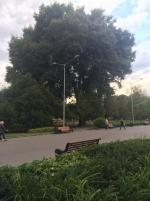 Лесоповал в московском Парке Горького: там вырубают вековые деревья