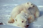 Разработан теплоизоляционный материал, структурой повторяющий шерсть белого медведя