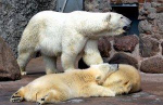 В мир животных. Смольный, не дожидаясь завершения кризиса, дал зеленый свет очередному мегапроекту – созданию ландшафтного зоопарка в Юнтолово