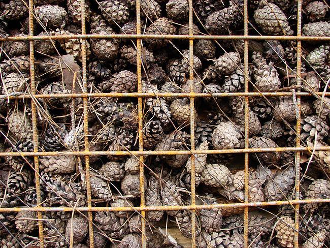Шишки за решеткой = стена. «Шишкин дом». Фотография Юлии Тарабариной
