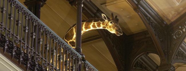 Жираф на балконе галереи: из экспоната в посетители © MNHN – Bernard Faye архитекторы Paul Chemetov Borja Huidobro- ADAGP