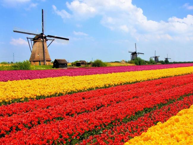 Голландия. Поля с тюльпанами.