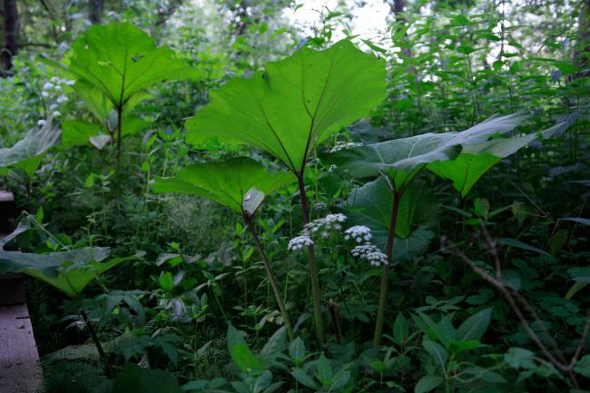 Лопух большой, фирменное растение парка Веретьево, украсил форзацы путеводителя