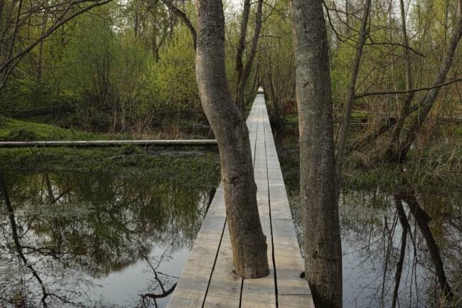 Дерево посреди Проспекта. Парк Александра Бродского в Веретьево