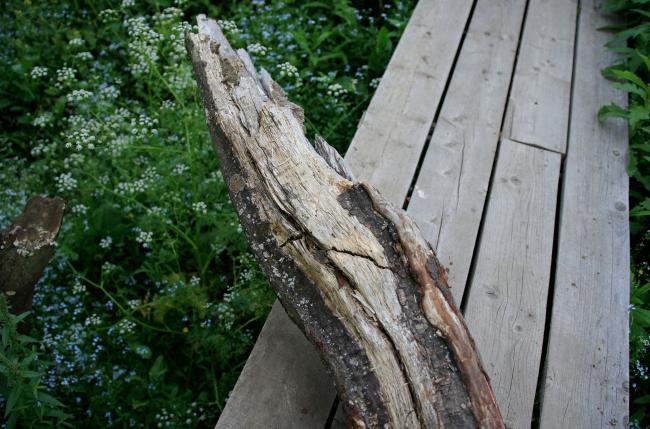 Дерево, упавшее поперек дороги (такое не одно, но это самое крупное и гнилое) Парк Александра Бродского в Веретьево
